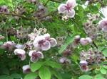アケビの花.JPG