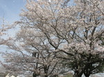 春爛漫上米公園.JPG