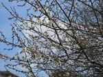 梅が咲く (3).JPG