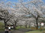満開桜.JPG